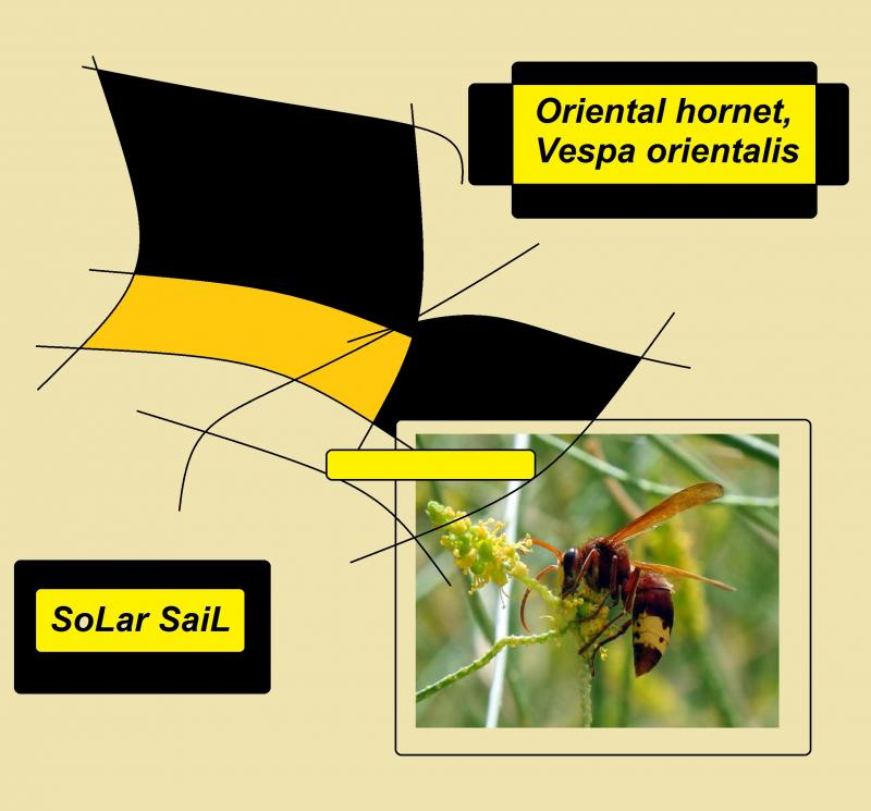 Oriental hornet Vespa orientalis soLar saiL as weLL